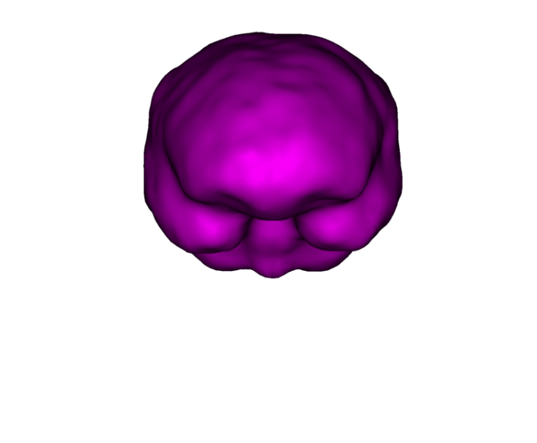 External surface of the cortex